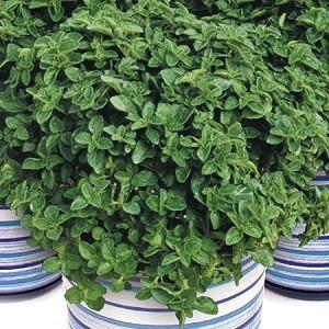 Quality New For 2013! Herb: Greek Oregano for sale