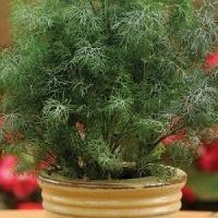 New For 2013! Herb: Fernleaf Dill Manufactures