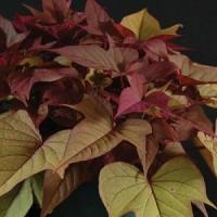 China New For 2013! Sweet Potato Vine, Bright Ideas: Rusty Red on sale