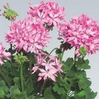New For 2013! Geranium, Fireworks Collection: Pink Manufactures