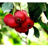 Standard Extracts Hawthorn Fruit Extract Manufactures
