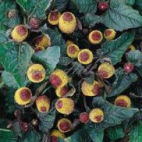 China Spilanthes oleracea, toothache plant wholesale