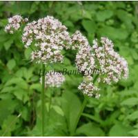 China Valerian Root Extract on sale