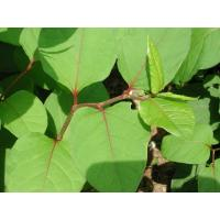Buy cheap Giant Knotweed Extract-Resveratrol from wholesalers