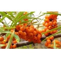 Seabuckthorn Extract Manufactures