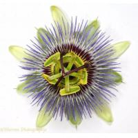 Passion Flower Extract Manufactures