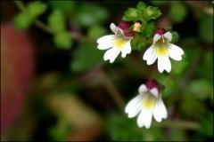 Quality Eyebright Extract / CAS:20362-31-6 for sale