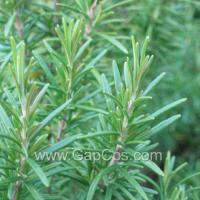 Quality High Quality Rosemary Extract for sale