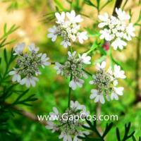Buy cheap High Quality Best Price 100% Natural Coriander Essential Oil from wholesalers