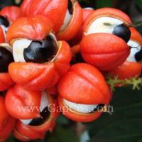 High Quality Wild Guarana Extract Manufactures