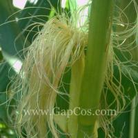 China High Quality Corn Silk Extract wholesale