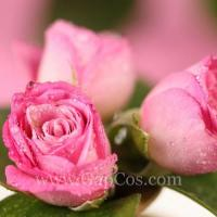 Rose Extract Manufactures