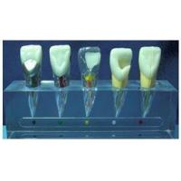 JY/B10015 Clinical Model of Endodontics Manufactures