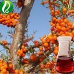 Carrot seed oil Essential Oil Manufactures
