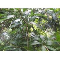 Mango leaf extract Mangiferin 20%-95% Essential Oil Manufactures