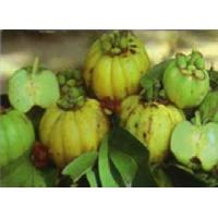 China Loss weight ...Garcinia cambogia extract( Hydroxy citric acid,HCA) on sale