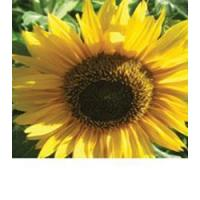 Browse By Category Peredovik Sunflower Seed Manufactures