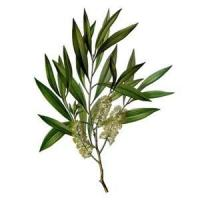 Buy cheap Cajeput Essential Oil from wholesalers