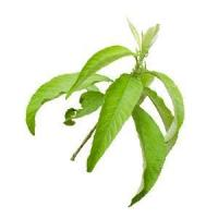 Buy cheap Camphor Essential Oil from wholesalers