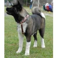 Akita Inu Multifunctional Leather Dog Harness Manufactures
