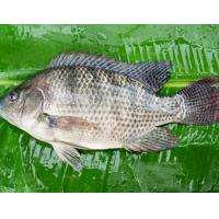 China Frozen Tilapia Gutted &Scaled (WR G&S) on sale