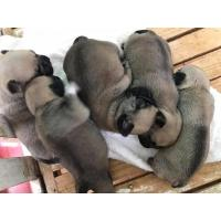 Pug Puppies for sale Manufactures