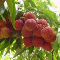 Buy cheap Lychee Flavor Lychee Flavor from wholesalers