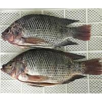 China Whole Tilapia Gutted&Scaled on sale