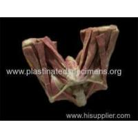 male perineal muscle medical specimens Manufactures