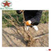 Chinese cold resistant Paulownia root cutting for plant trees Manufactures
