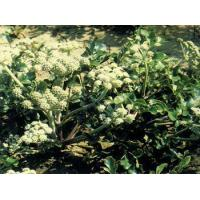 Buy cheap Radix Glehniae from wholesalers