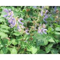 Buy cheap The Root of Red-rooted Salvia from wholesalers