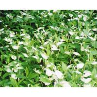 Buy cheap Pinellia ternate from wholesalers
