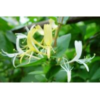 Buy cheap Pinyi Honeysuckle from wholesalers
