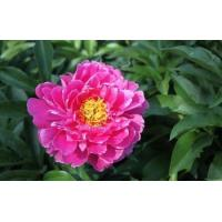 Buy cheap Peony from wholesalers