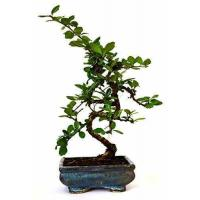 9GreenBox - Fukien Tea Bonsai with 6 Ceramic Pot Manufactures