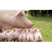 Enzyme preparation Complex enzyme for pig Manufactures