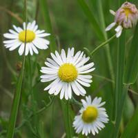 Buy cheap Browse by Common Name Lazy Daisy from wholesalers