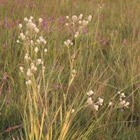 China Browse by Common Name Rattlesnake Master on sale
