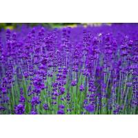Buy cheap Essential oils Lavender essential oil from wholesalers