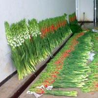 Buy cheap Fresh Gladiolus Flowers from wholesalers