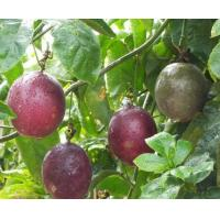 Standard Extracts Passion Flower Extract Manufactures