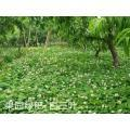 White clover grass seeds cost Manufactures