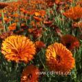 Buy cheap High quality Calendula Officinalis (marigold) seeds from wholesalers