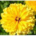 Buy cheap Hybrid marigold flower seed from wholesalers