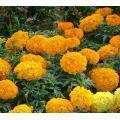 Buy cheap African hybrid marigold flower seeds from wholesalers